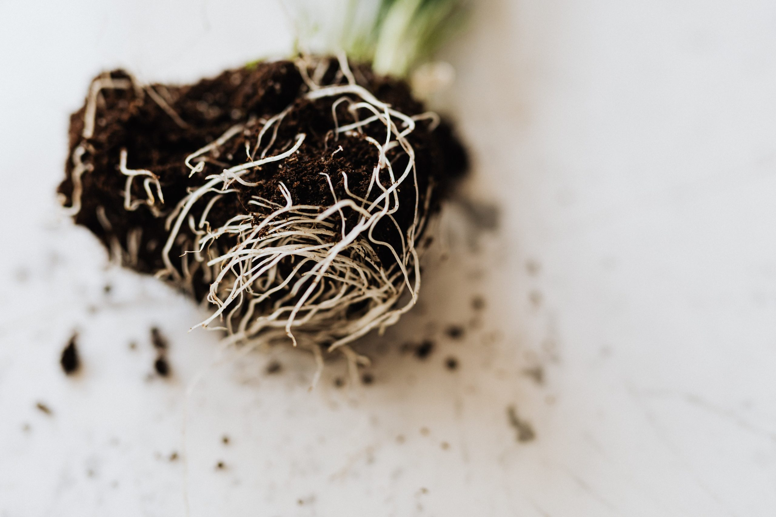 roots of green seedling with soil