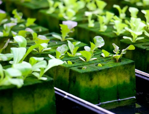 Why Hydroponic Gardening Is Becoming The Choice Of Many Green Thumbs